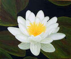 Näckros / Water lily